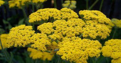Milenrama para el alivio de la endometriosis